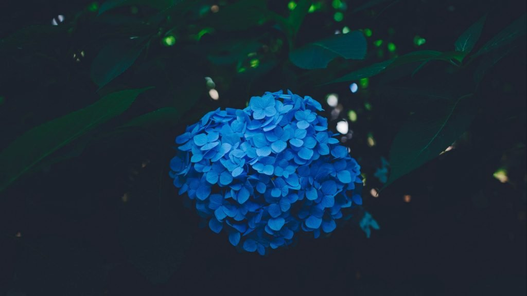 4k Hydrangea Blue Background Wallpaper