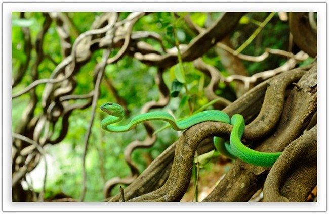 Oriental Vine Snake wallpaper