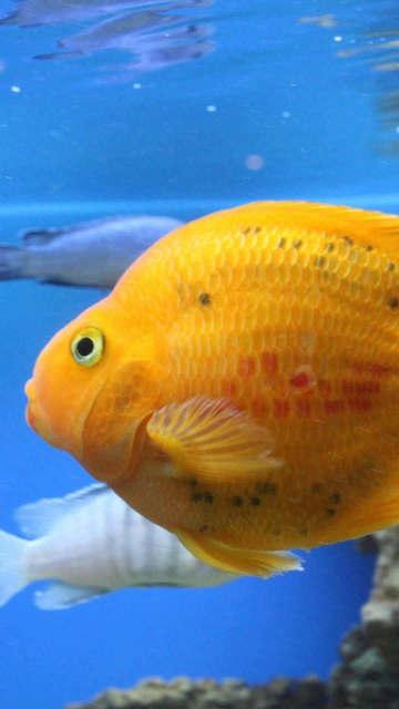Iphone-fish-swim-beautiful