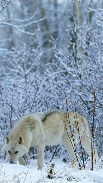 Wolf Snow Wallpapers Iphone (2)