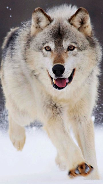 Wolf-Snow-Wallpapers-Iphone