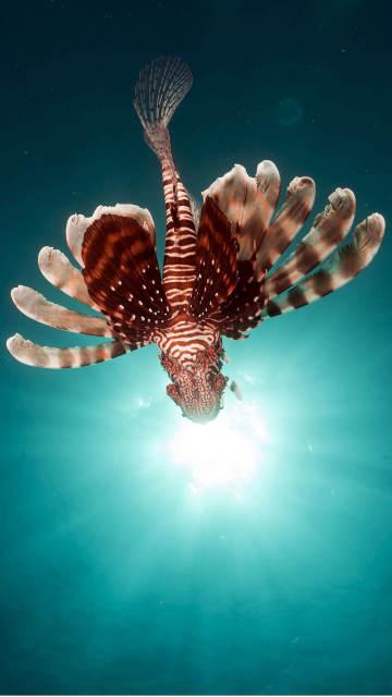 Iphone-fish-wallpaper-lionfish-swim