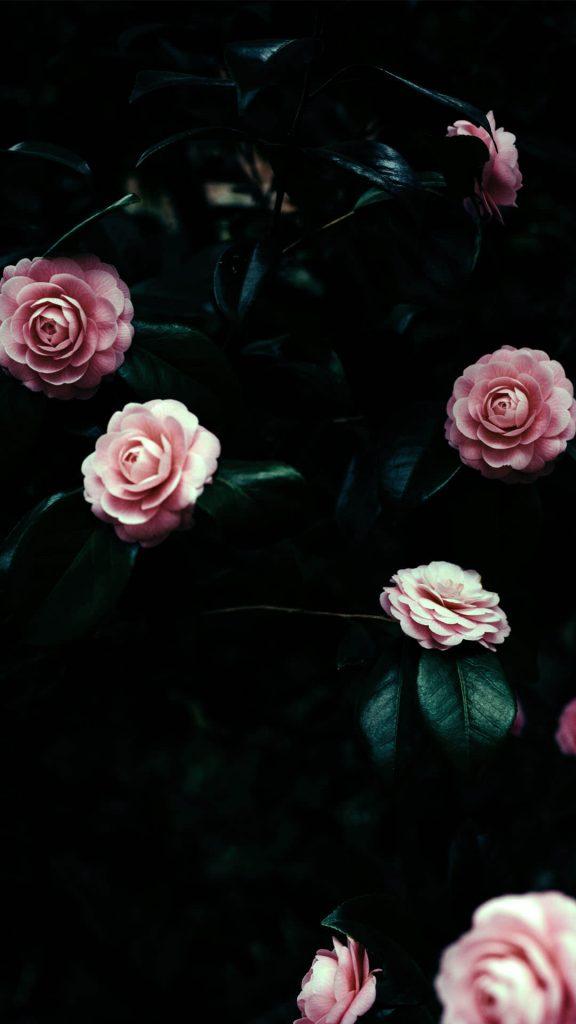 1080 × 1920 Beautiful iPhone Rose Flowers wallpapers