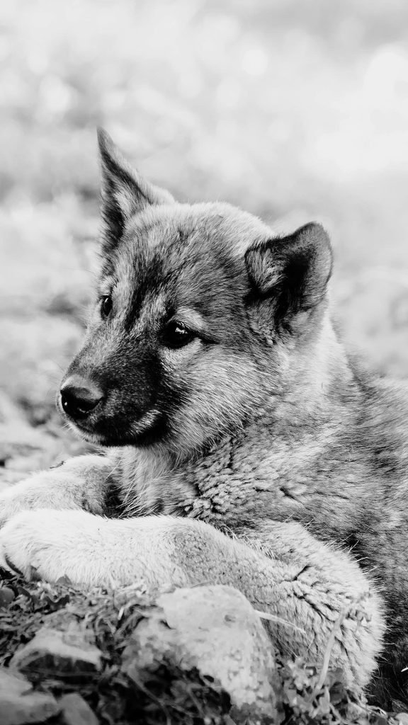 Sweet Dog black and white 1080×1920