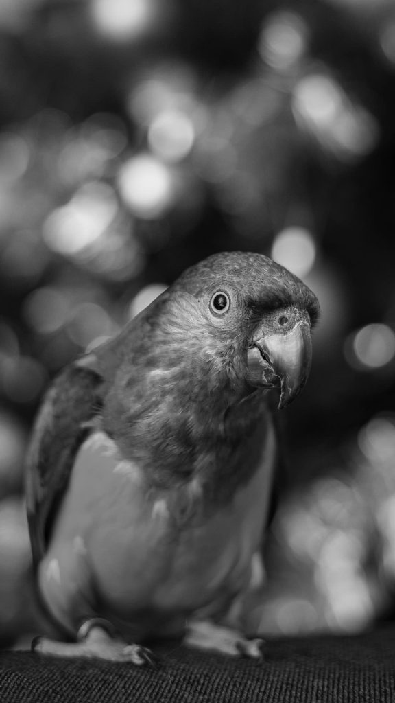 black and white parrot iphone wallpaper 1080×1920