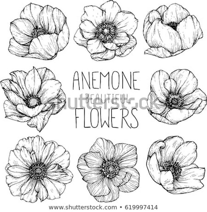 Anemone Flowers Drawing