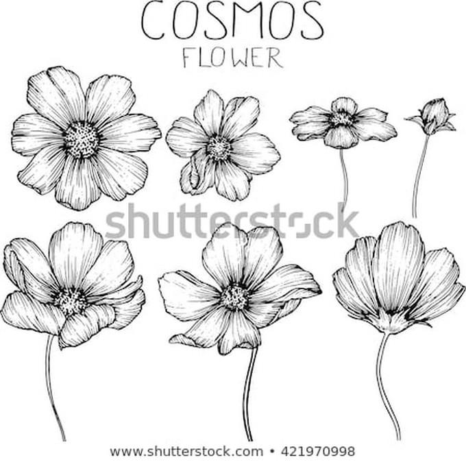 Cosmos Flowers Drawings