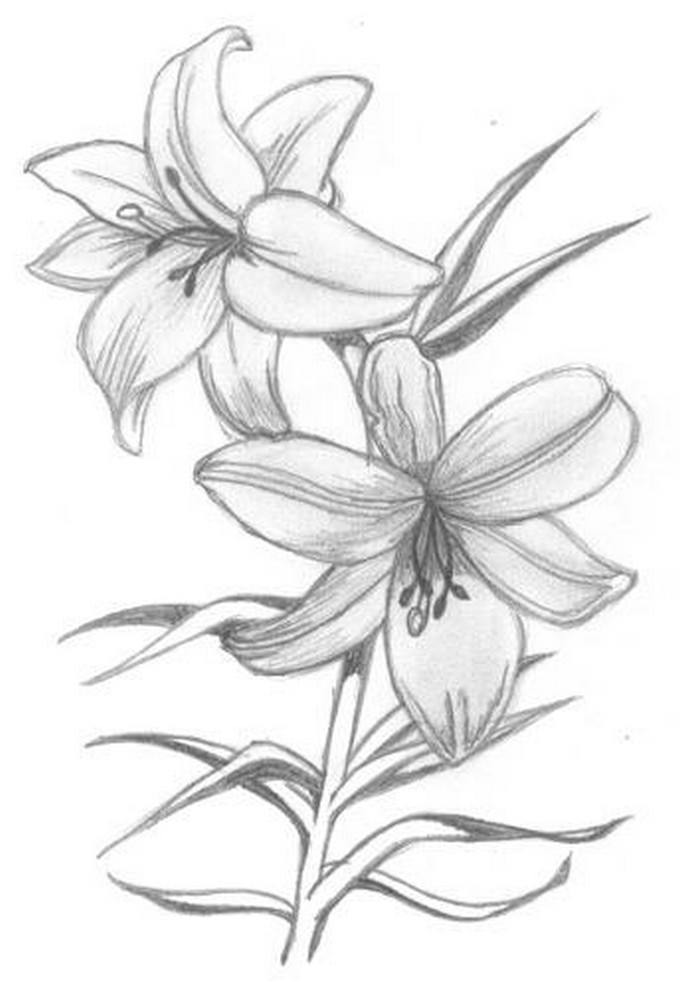 Flowers - Madonna Lily Drawing