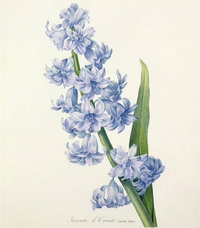 Hyacinth Drawing
