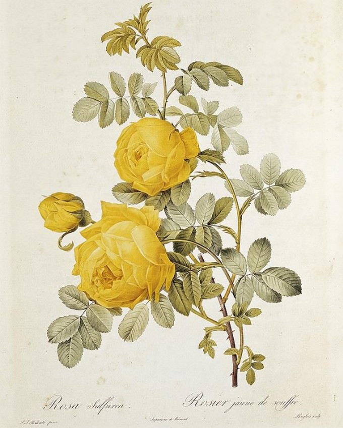 Rosa Sulfurea Drawing
