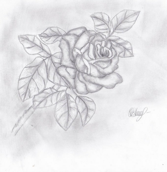 Rose Drawing by Lycosia
