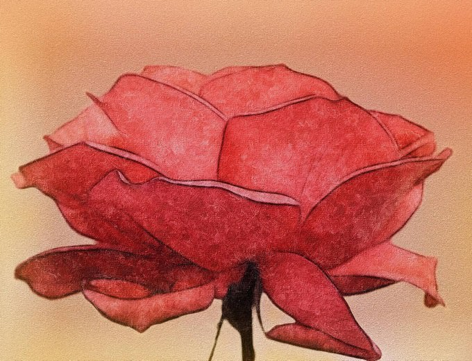 Rose Drawing by allison731