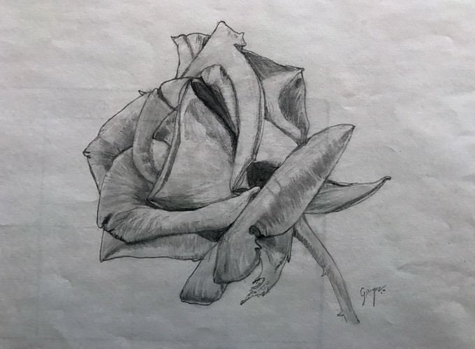 Rose Graphite Drawing