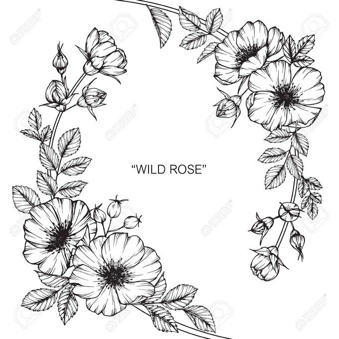 Wild Rose Flower Draw