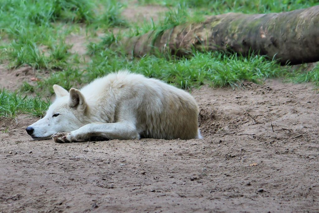 Wolf Sleep HD Wallpaper-0002-1920 × 1280
