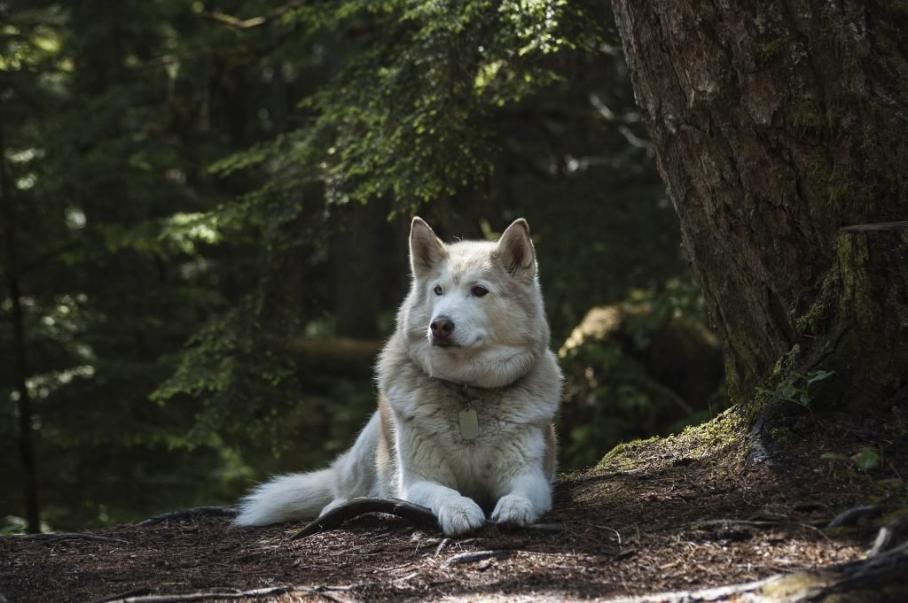 Sitting, White Wolf Wallpaper-0011-1920 × 1276