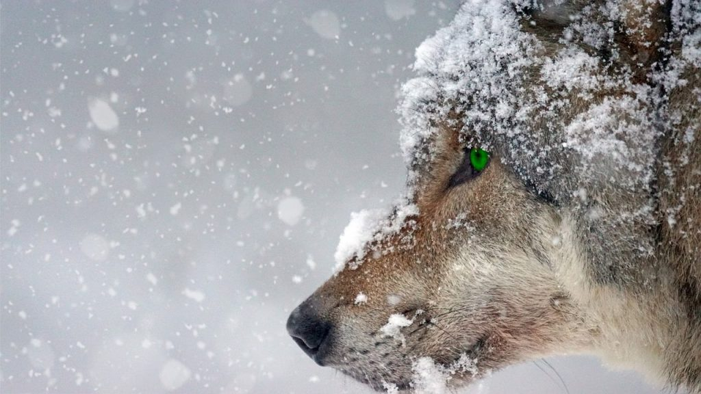Snow wolf backgrounds-0019-1280 × 720