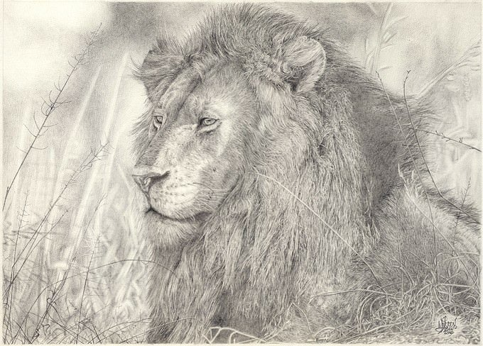 Just A Lion Drawing