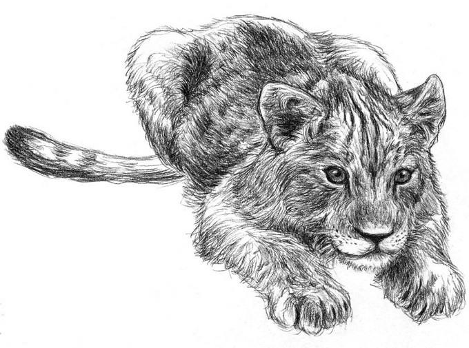 Lion Cub Drawing