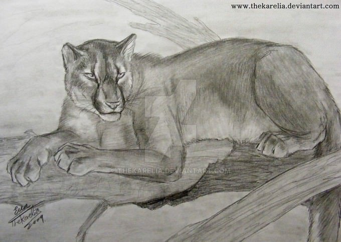 Mountain Lion Drawing