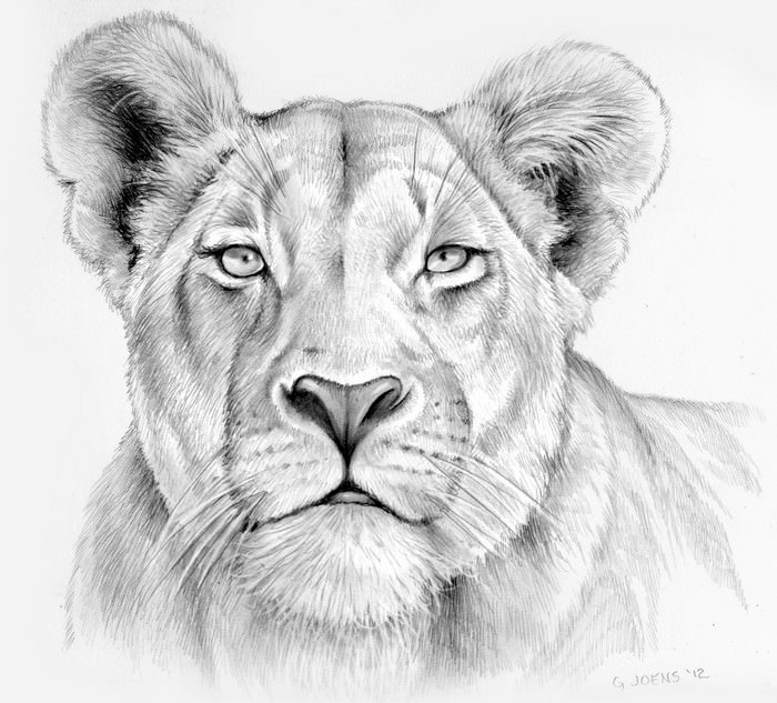 Lioness in Pencil